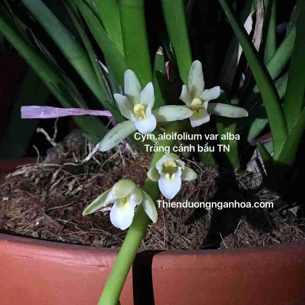 Kiếm trắng, kiếm trắng cánh bầu Thái Nguyên, cây đẹp, chuẩn hoa