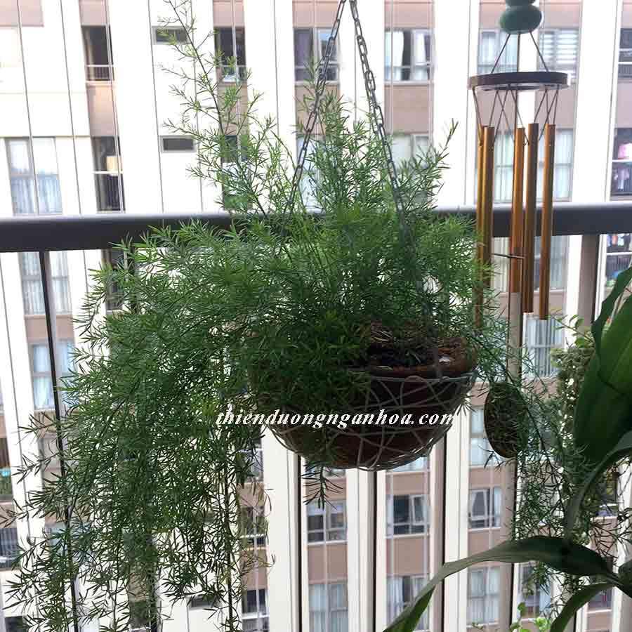 Thiên môn đông lá kim, cây giỏ treo xanh quanh năm chịu nhiệt tốt