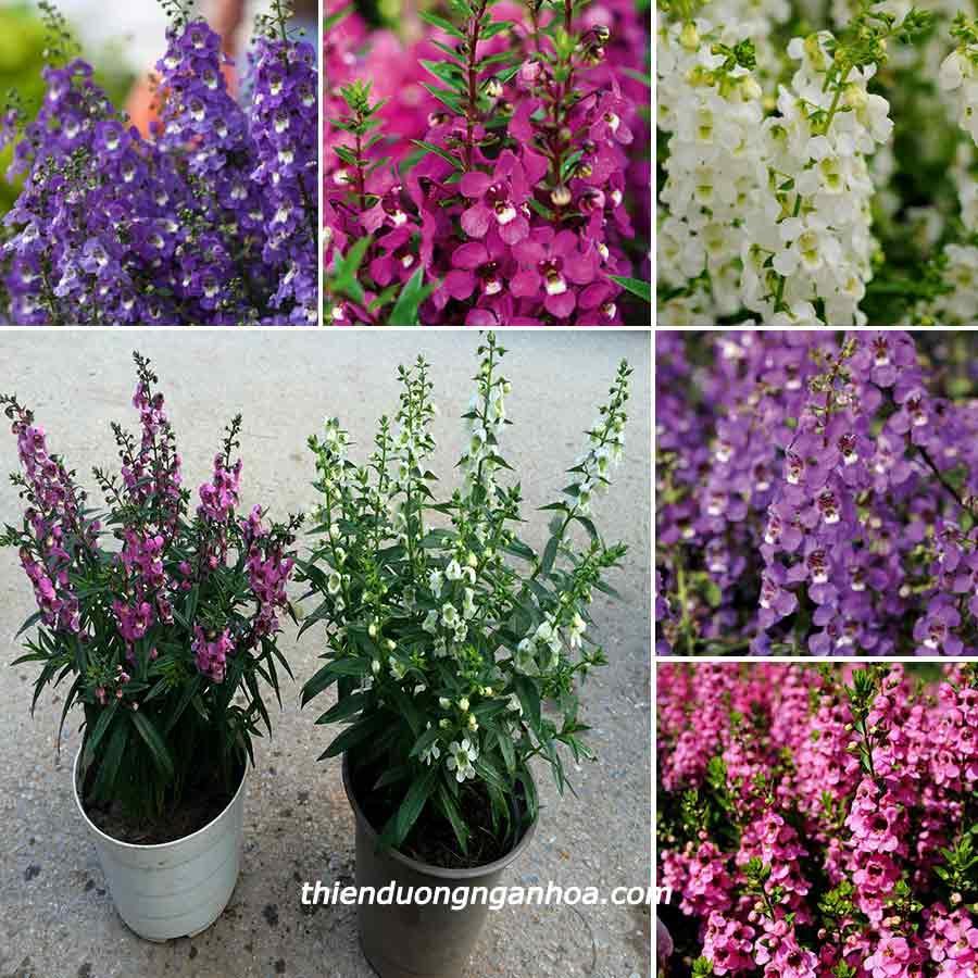 Bán Hoa Bâng khuâng nhiều màu, hoa ngọc hân, Violet nhật, Bán hoa bâng khuâng Hà Nội