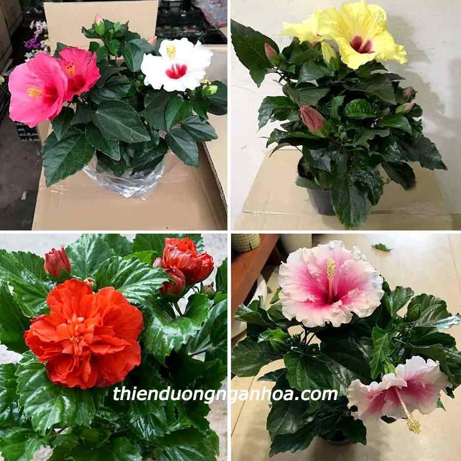 Hoa Dâm bụt lùn nhiều màu, bông to không phá dáng, bán hoa Dâm Bụt Lùn nhiều màu