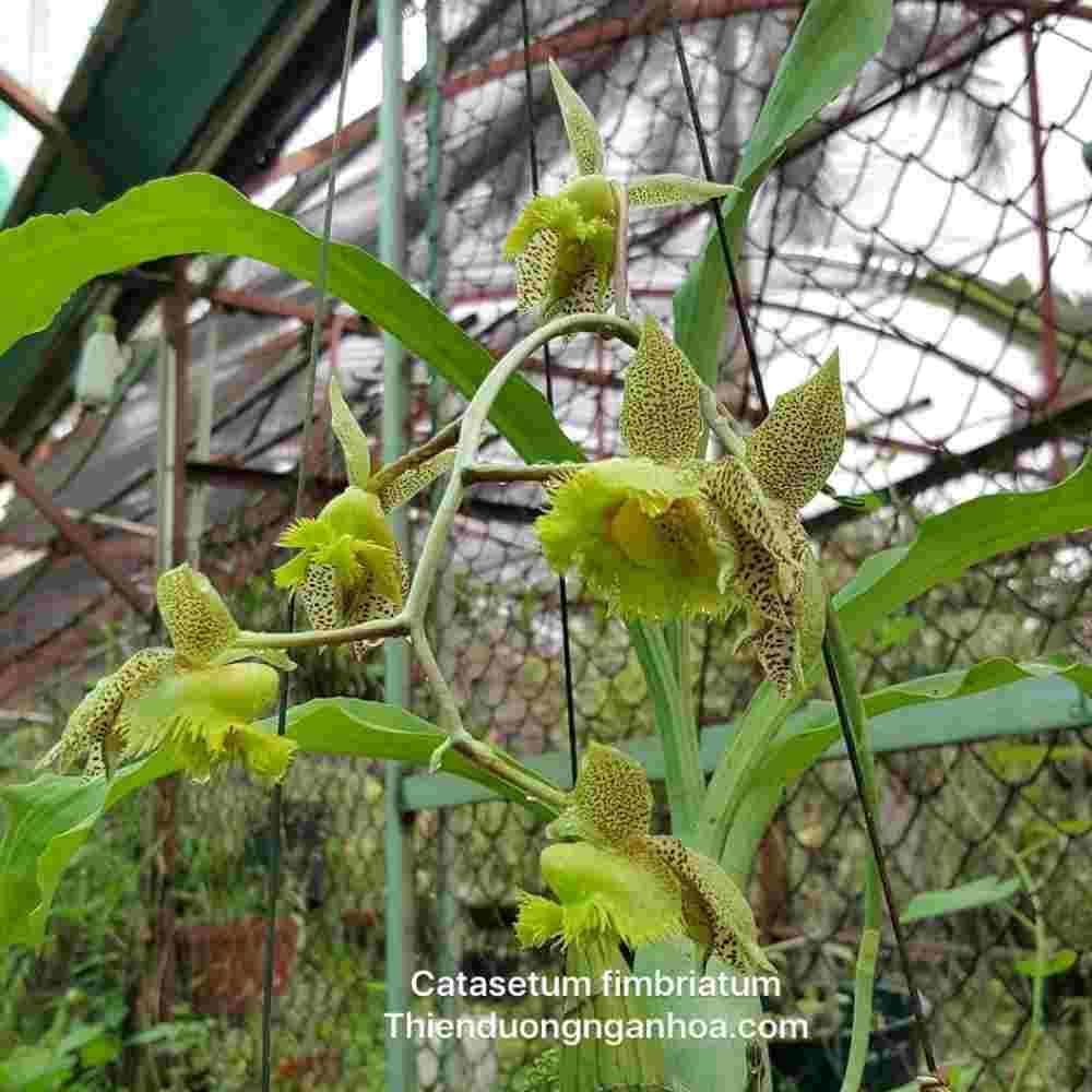 Catasetum fimbriatum, catasetum nuôi thuần, cây khỏe tại Hà Nội