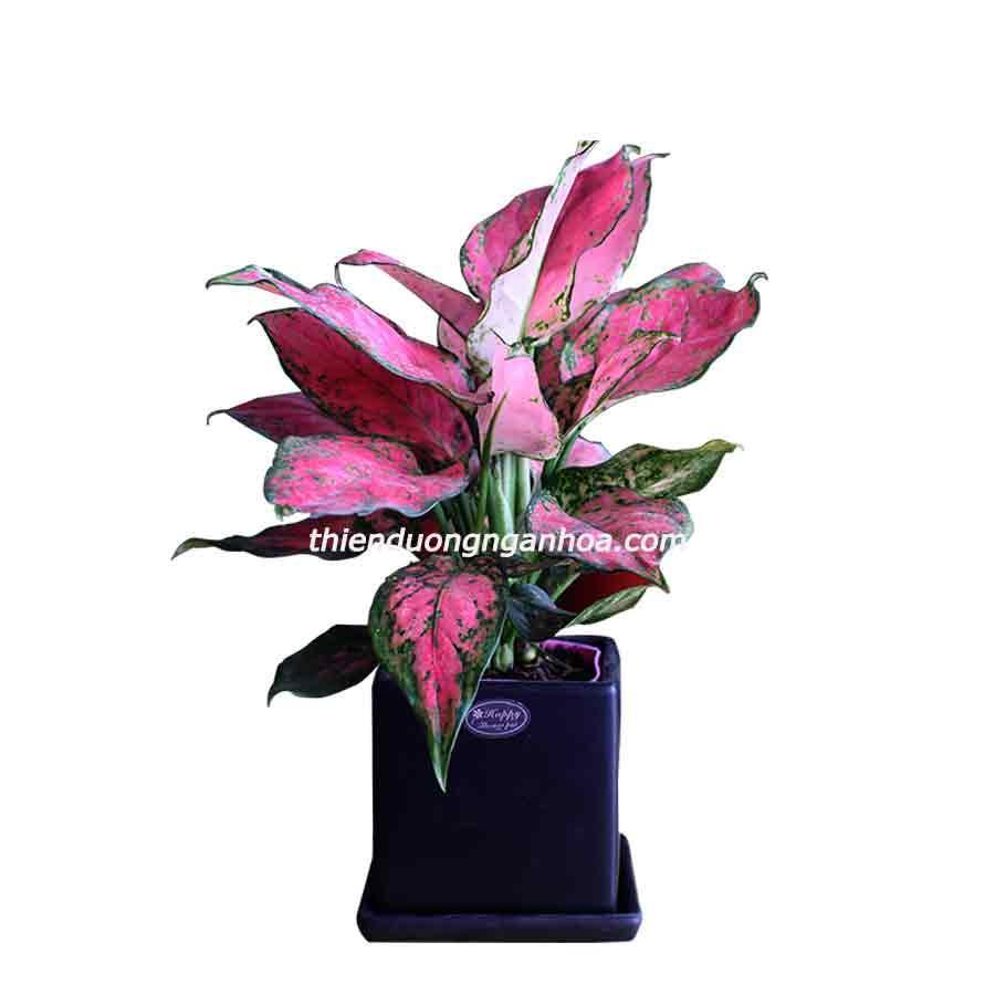 Bán chậu cây vạn lộc mini, cây hồng tài để bàn, cây  nhỏ xinh lá hồng cực đẹp
