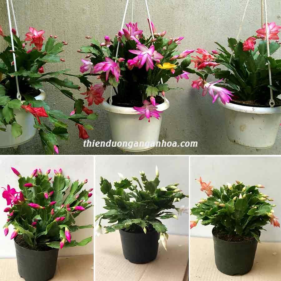 Lan càng cua khỏe, nụ đẹp, hoa càng cua, tiểu quỳnh nhiều màu