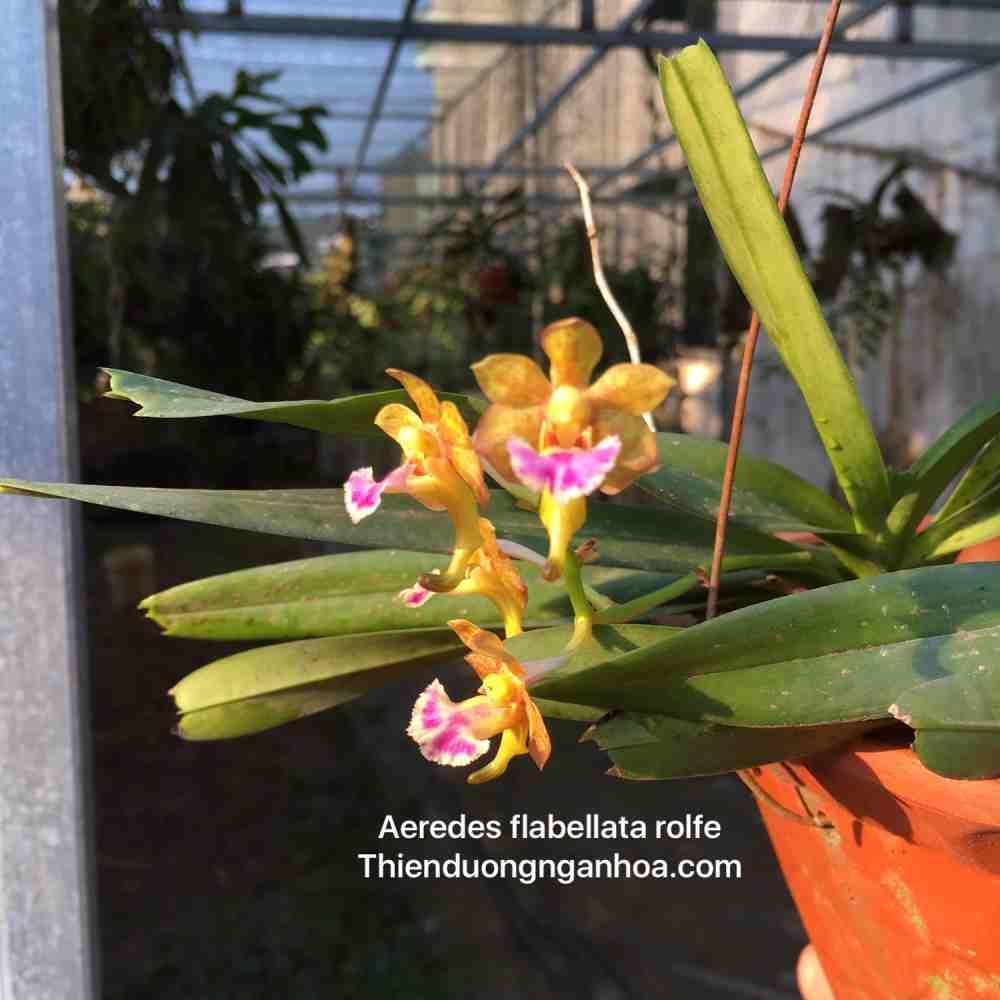 Dáng hương Dải Quạt, Rẻ quạt Aerides flabellata, cây đẹp thuần