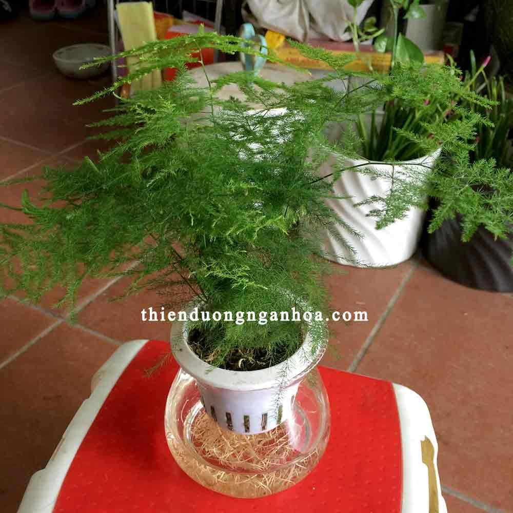 Cây lá măng trồng nước, bán cây thủy tùng nước cho người tuổi thân