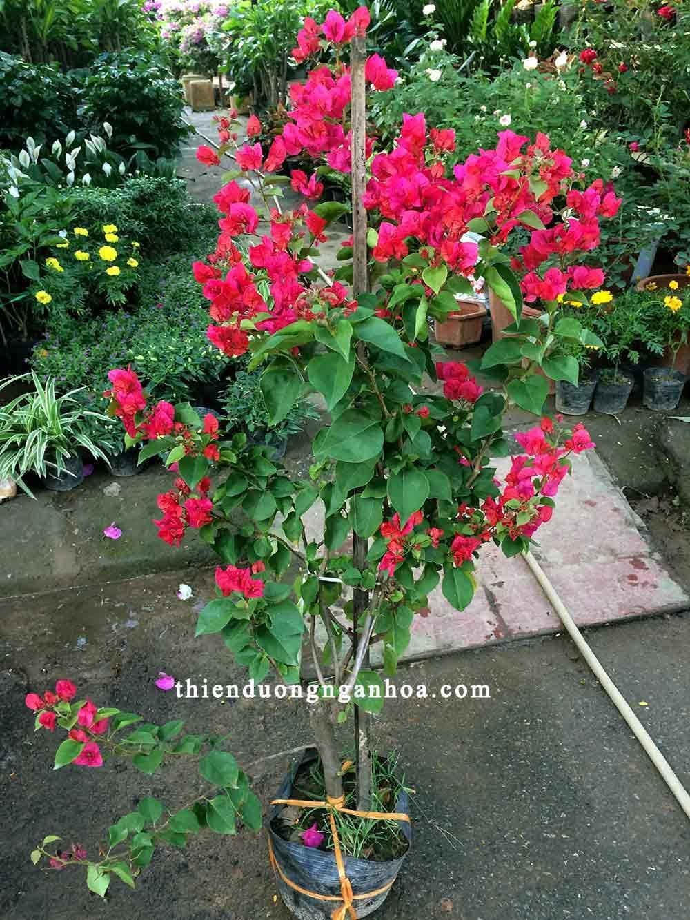 Bán hoa giấy đỏ, hoa giấy đỏ sai hoa cây khỏe chịu hạn chịu nắng cực tốt