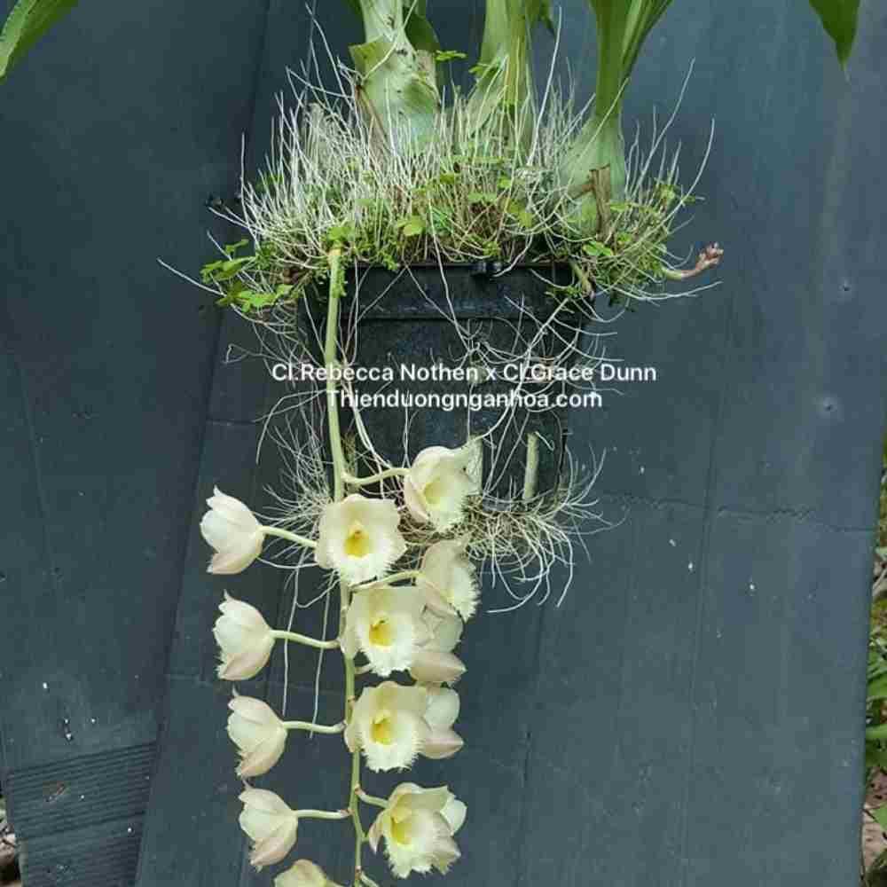 catasetum hương gừng, cli.rebecca northen x cl grace dunn màu hồng vàng