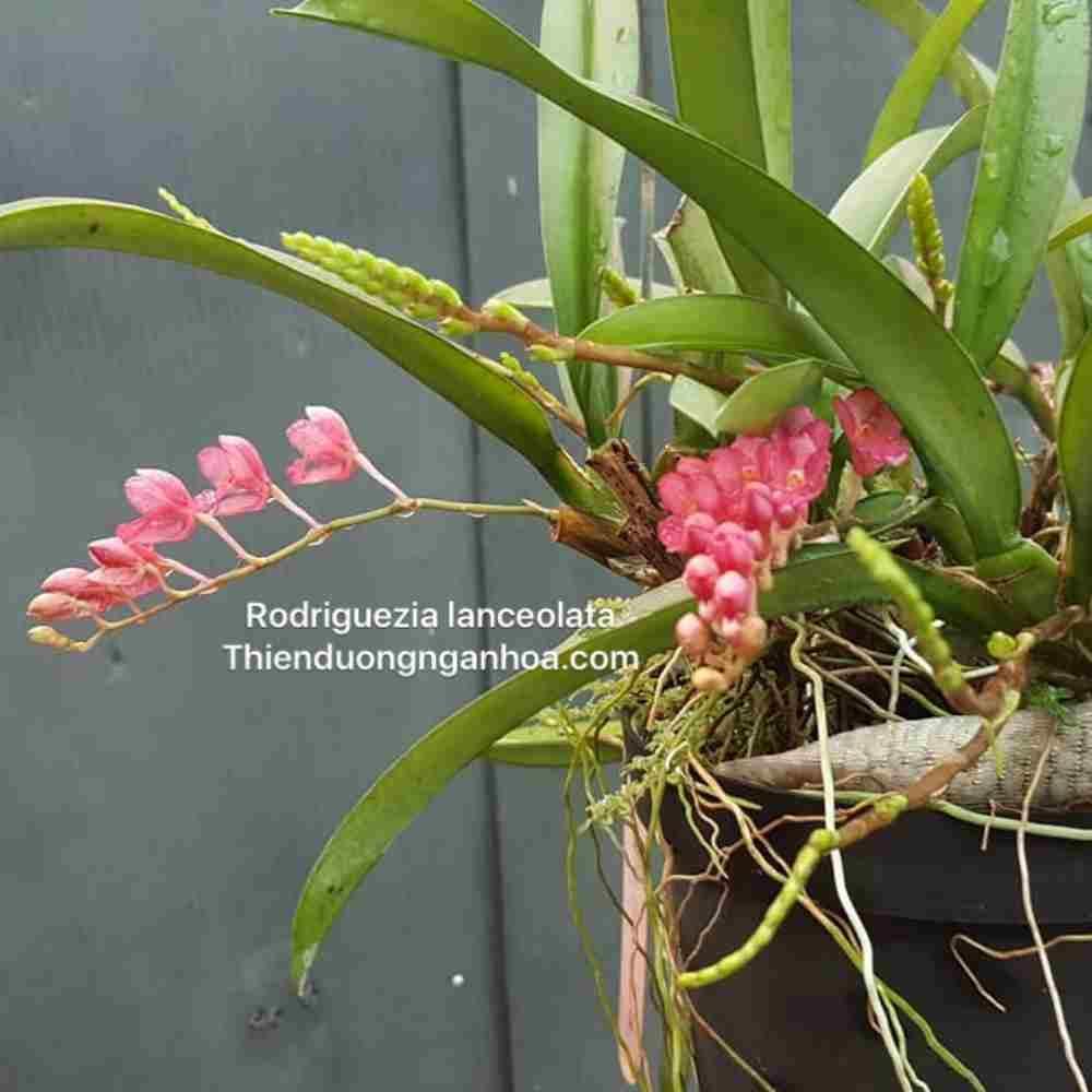 Rodriguezia lanceolata, vũ nữ lạ, hoa lan vũ nữ nam mỹ đỏ mini