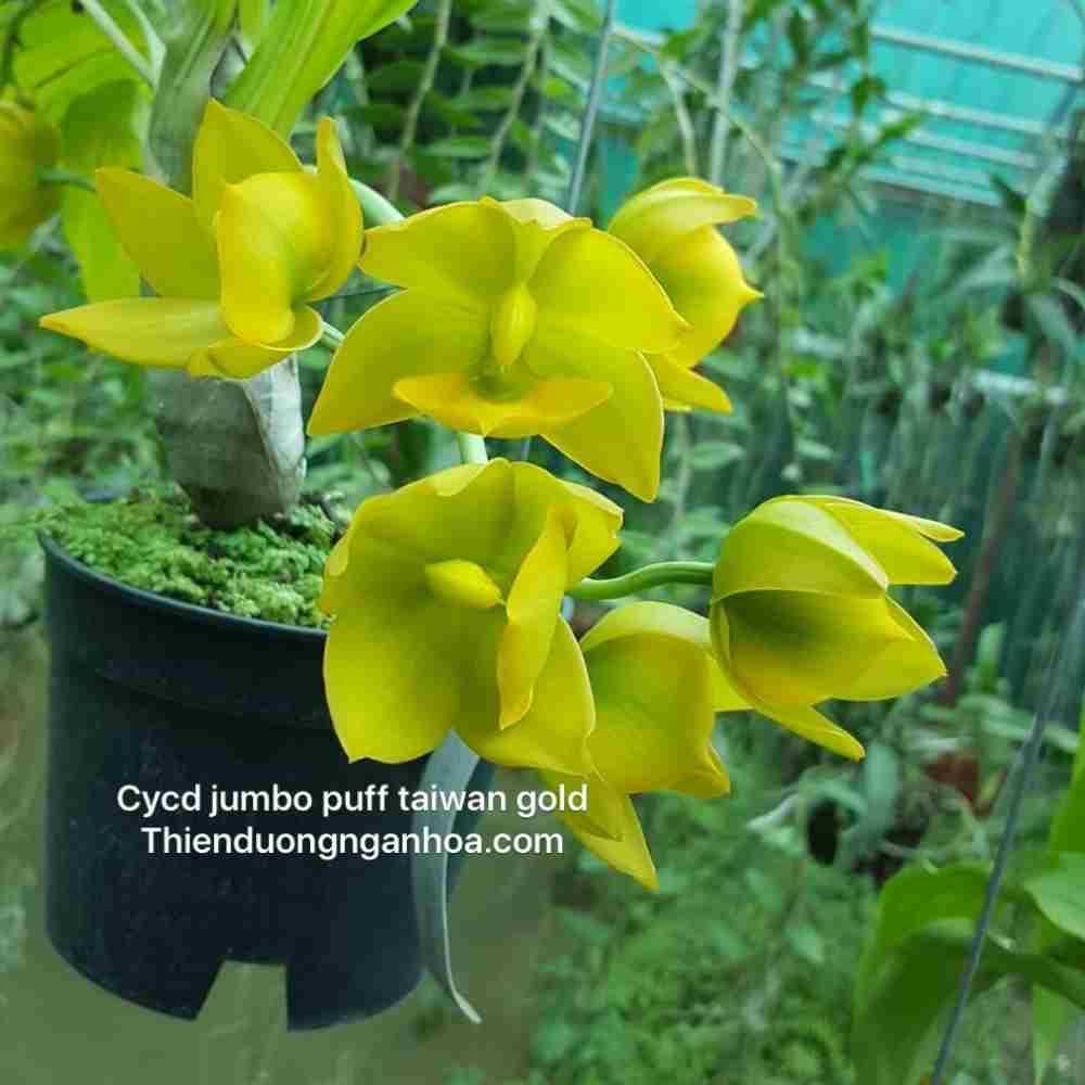 Hoa lan Thiên Nga Vàng Cycnodes Jumbo Puff, cây đẹp giá tốt