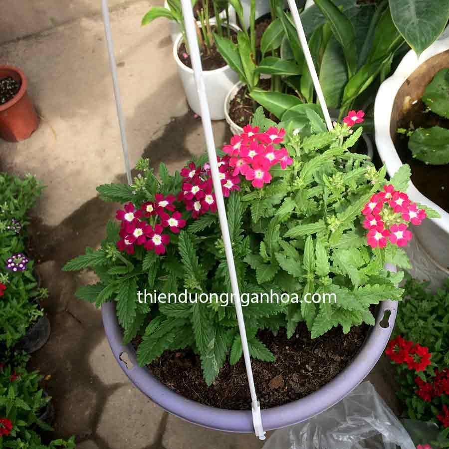 Bán cây hoa cúc Vân Anh- Cúc indo màu. Hoa Vân Anh nhiều màu trồng chậu rủ, giỏ treo cực đẹp