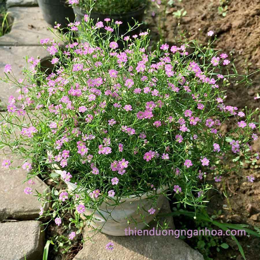 Bán hoa baby giỏ treo, baby trồng chậu nhiều màu cực xinh nở liên tục nhiều tháng