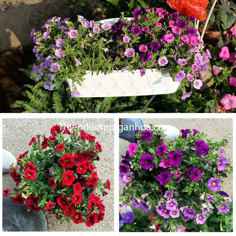 Bán hoa triệu chuông nhiều màu, hoa triệu chuông kép cực sai hoa, hoa rực rỡ dễ chăm sóc.