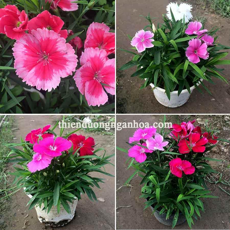 Bán hoa cẩm chướng bông to 5cm, cẩm chướng nhiểu màu sắc mới lạ cho mùa xuân rực rỡ