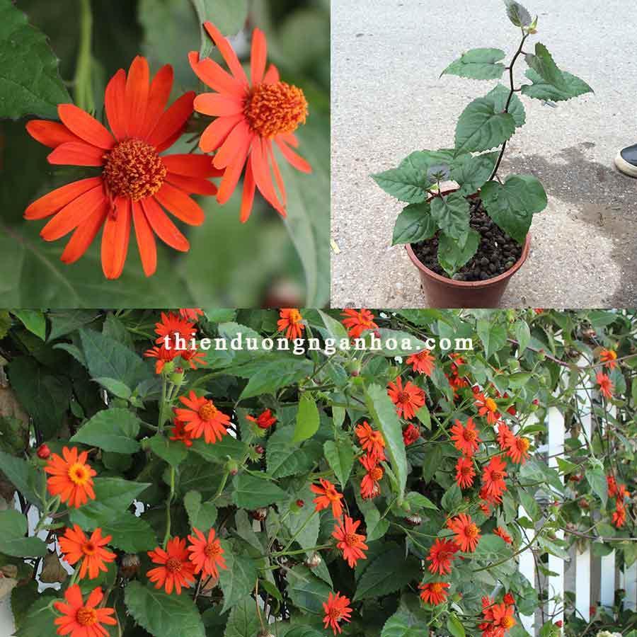Bán hoa cúc leo màu cam đỏ, hoa sống khỏe nở hoa quanh năm leo dàn cực đẹp
