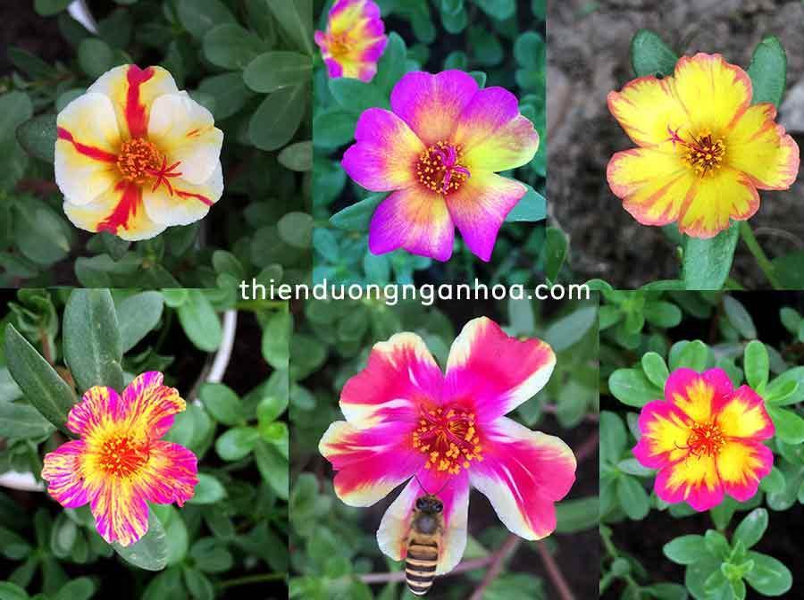 Bán hoa sam thái nhiều màu sắc mới lạ