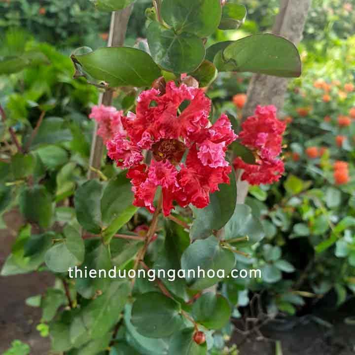 Bán hoa tường vi đỏ cây thân gỗ nhỏ cực khỏe , hoa chùm tại Hà Nội