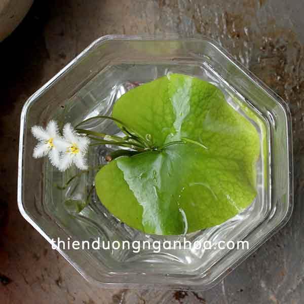 Bán cây Hoa Thủy Nữ trồng dưới nước cây khỏe dễ dàng chăm sóc tại Hà Nội