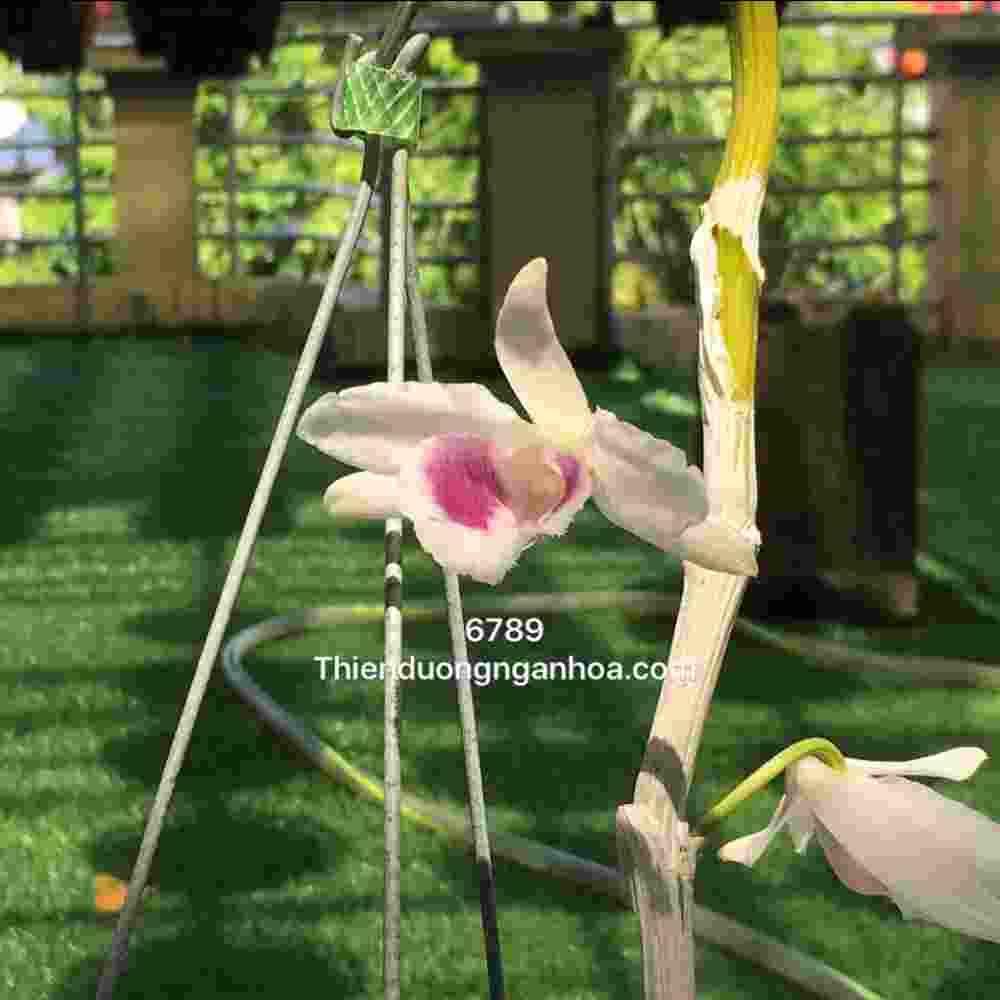 5ct 6789, phi điệp 5 cánh trắng 6789, hoa lan đột biến