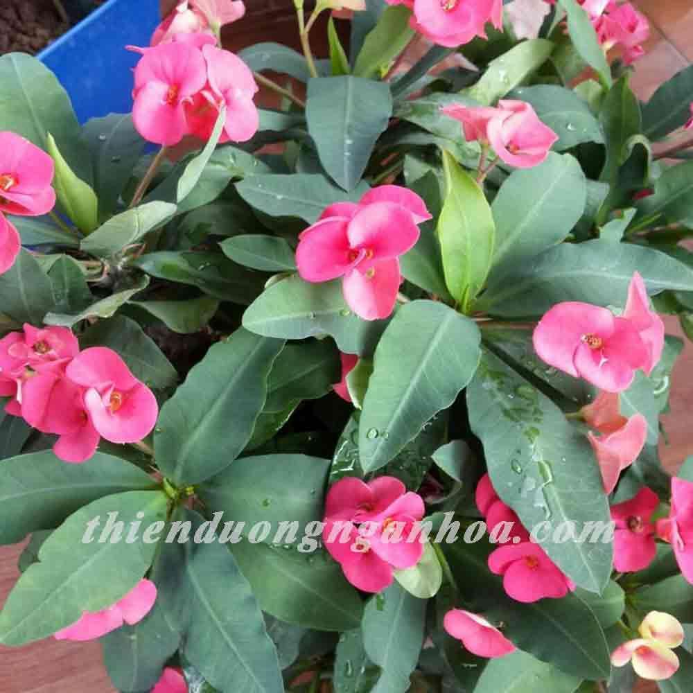 Xương rồng bát tiên,xương rồng rất khỏe,nhiều hoa,rẻ và dễ trồng nhất