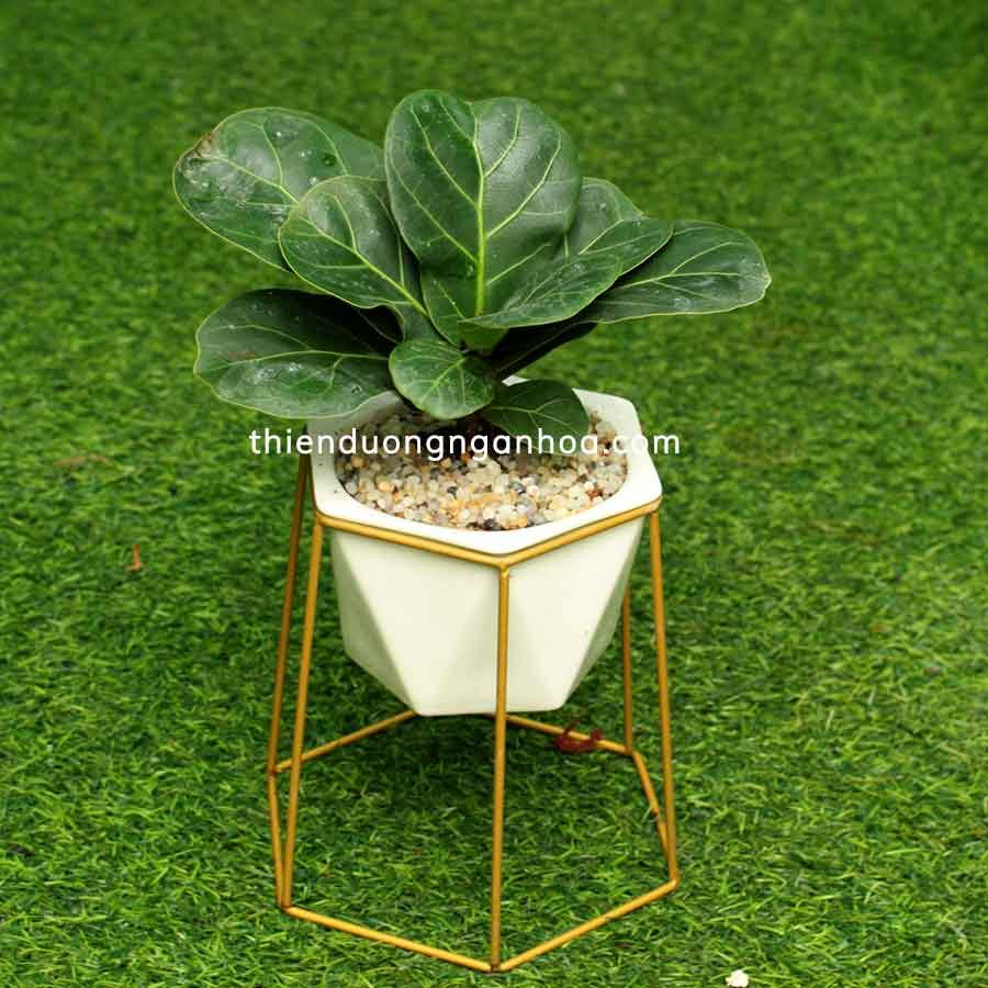 Bán bàng singapo mini, bàng sigapo đặt bàn cây đẹp lá bóng tại Hà Nội
