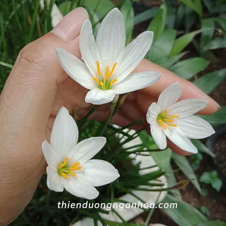 Bán set 20 củ tóc tiên Trắng, Tóc tiên trắng củ mẹ có hoa hoa luôn, ship toàn quốc