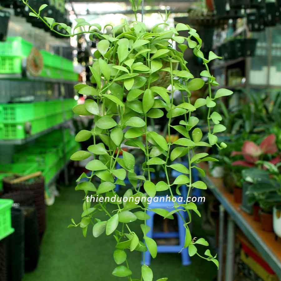 Bán ốc lan Hạt Dưa, quả dừa hạt cẩm thạch, xanh  nhỏ xinh treo ban công, ốp tường Hà Nội