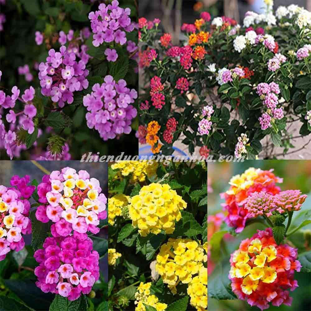 Hoa ngũ sắc nhiều màu, bán hoa ngũ sắc Hà nội