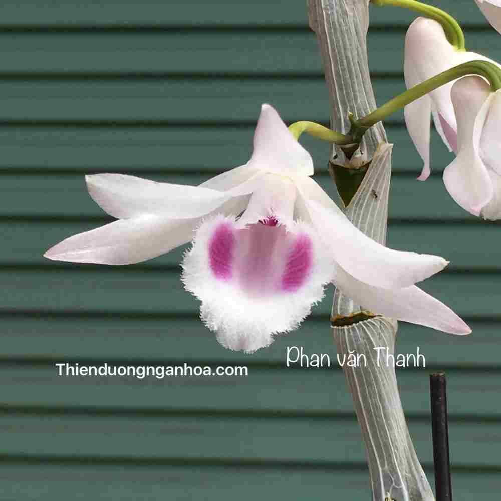 Hồng Bắc Ninh, Phi điệp Hồng Bắc Ninh Đột Biến, bảo hành hoa
