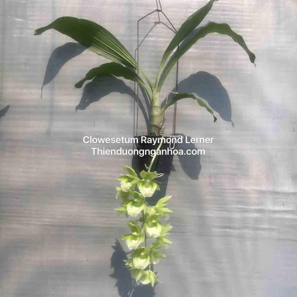 Catasetum Xanh Lưỡi Trắng, Clowesetum Raymond Lerner, thuần Hà Nội