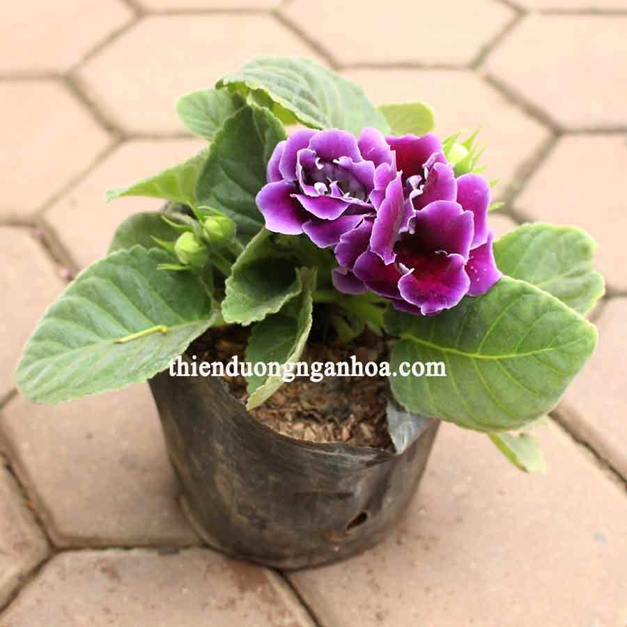 Bán cây hoa tô tử lan, tử la lan nhiều màu, cây bền đẹp ra hoa liên tục trong nhiều tháng