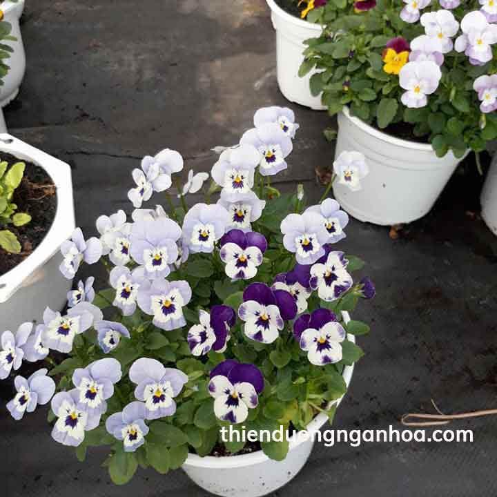 Bán hoa pansy viola trồng ban công siêu xinh, pasy viola nhiều màu Hà Nội