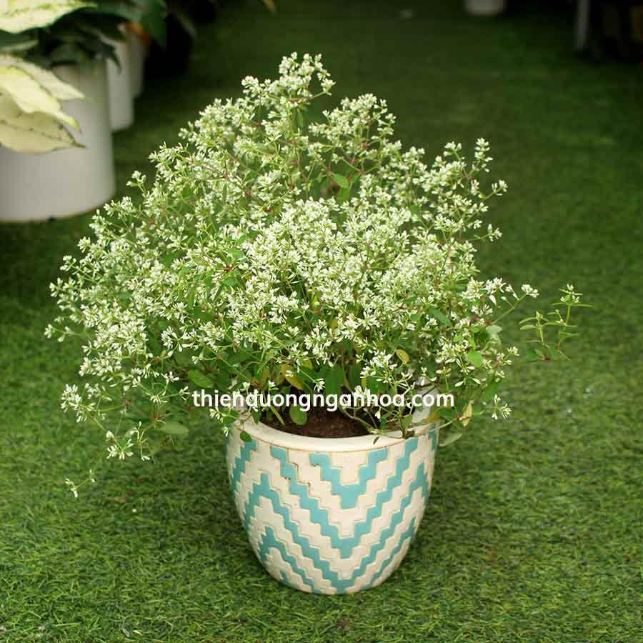 Bán Hoa Bạch Tuyết,Euphorbia 'Diamond Frost' hoa chùm trắng nhỏ cây thân cứng khỏe cực sai hoa, dễ trồng