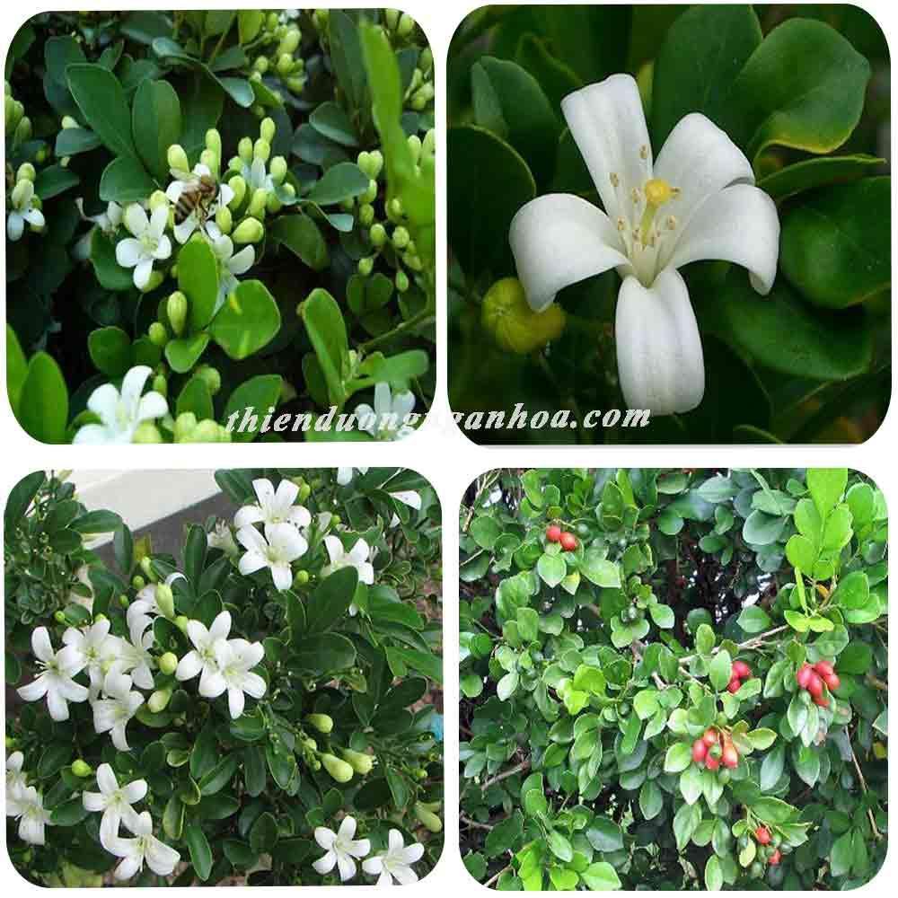 Nguyệt quế siêu hoa, hoa nở quanh năm mùi thơm như hoa bưởi, bán nguyệt quế siêu hoa.