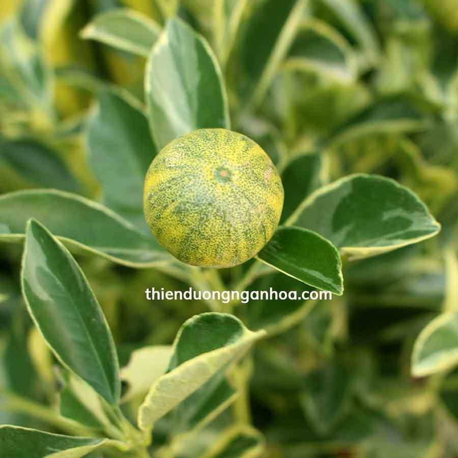 Bán cây quất cẩm thạch Hà Nội, quất cẩm thạch chơi tết sống quanh năm