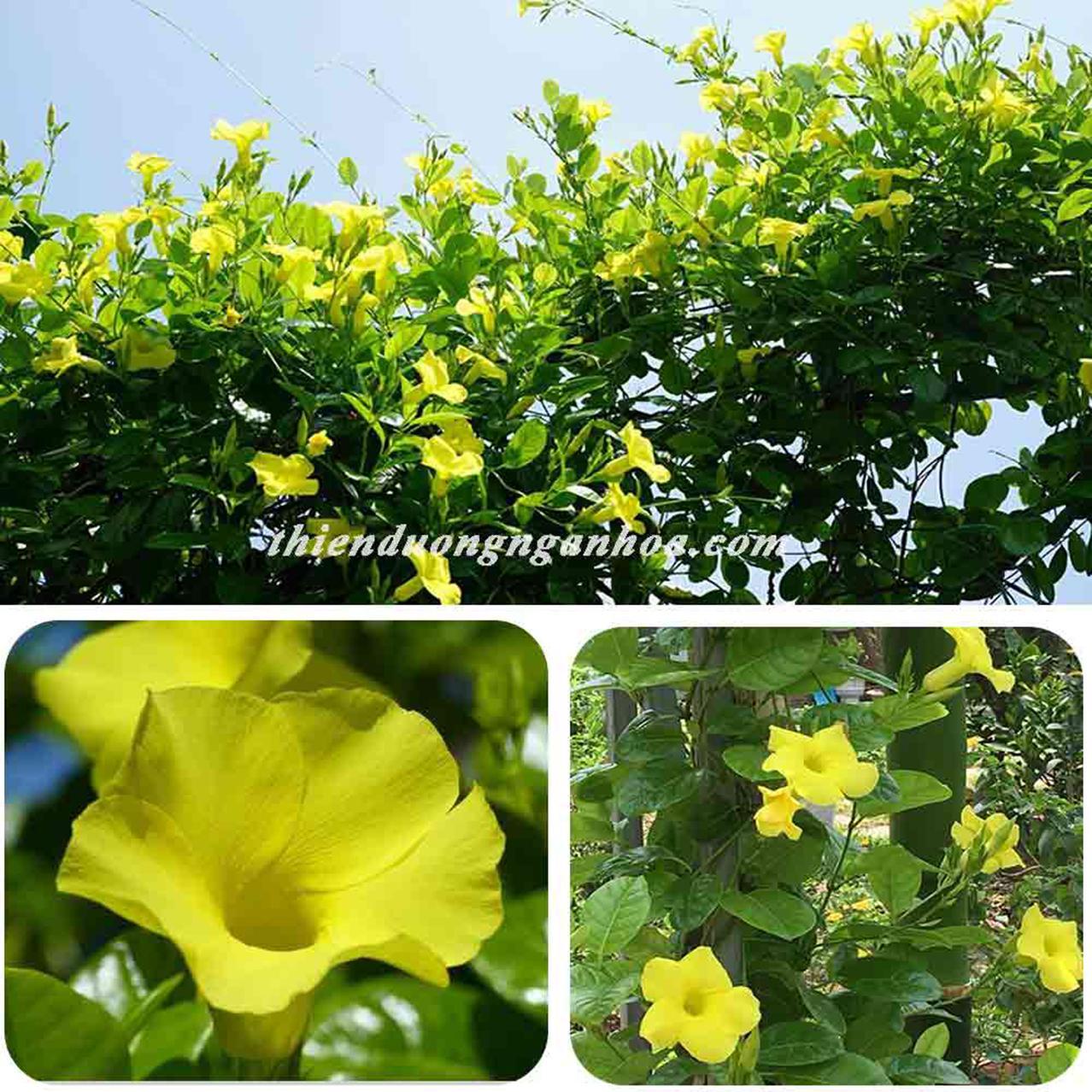 Hoa Huỳnh đệ leo giàn, hoa huỳnh đệ giải nhiệt mùa hè