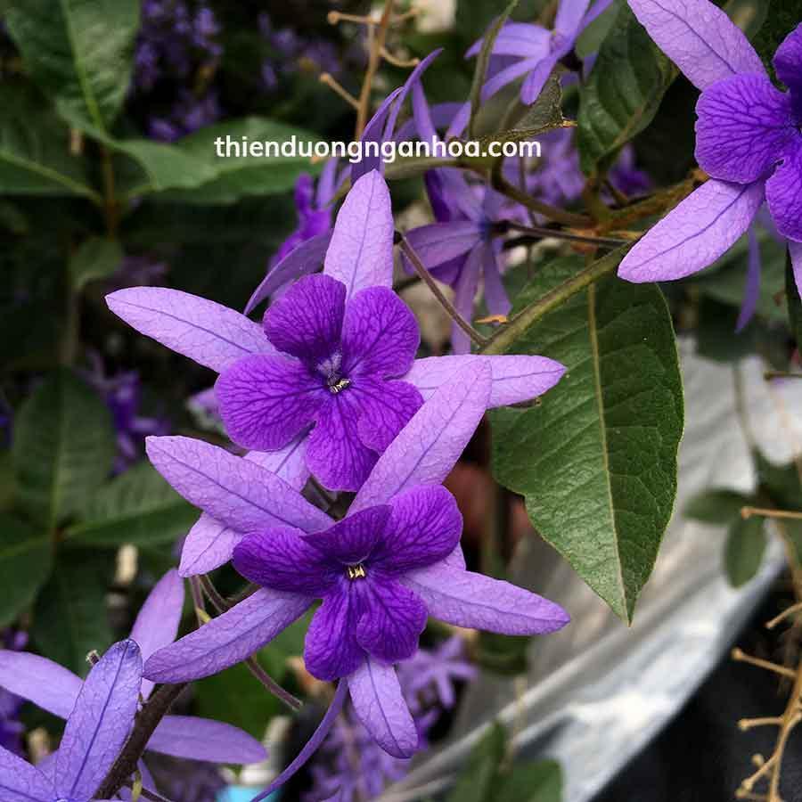 Bán cây giống hoa leo Mai xanh, Hoa mai xanh nở chùm cực đẹp tại Hà Nội