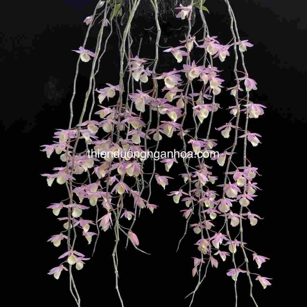 Hạc Vĩ Thiên Cung, Giả Hạc Thiên Cung, Dendrobium Aphyllum