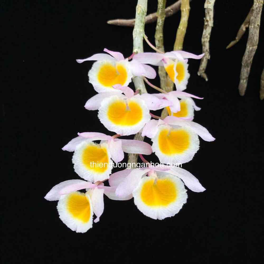 Long Tu Xuân, Dendrobium Primulinum, Long Tu