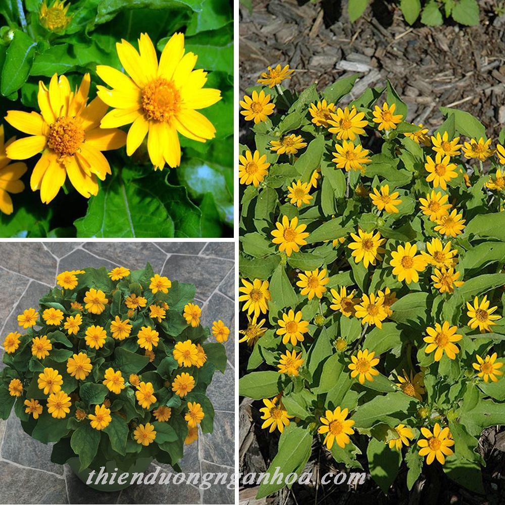 Cúc mặt trời vàng, mùa hoa cúc mặt trời , bán cúc mặt trời Hà Nội