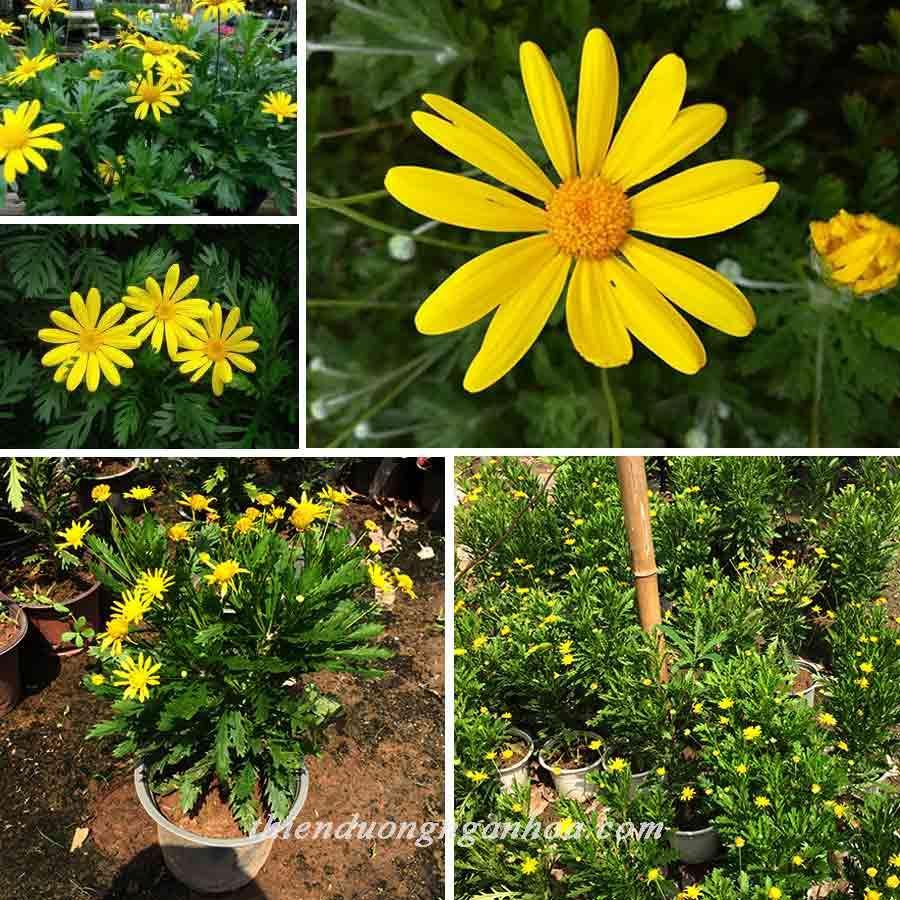 Cúc thân gỗ hoa vàng, cúc thân gỗ dáng tree cho hoa quanh năm.