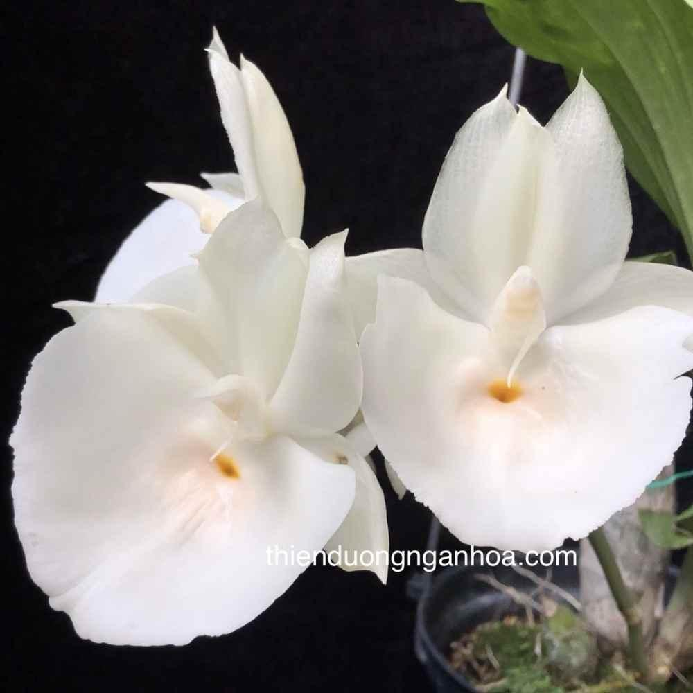 Catasetum Trắng, Catasetum Pileatum White, Bán Cattum tại Hà Nội