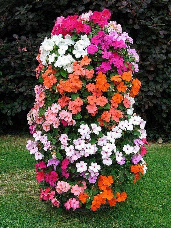 Hoa Ngọc thảo đơn, mai địa thảo, ngọc thảo xoắn kép nhiều màu